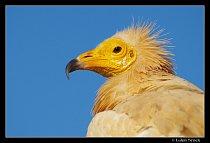 Sup mrchožravý – největší pták Sokotry.