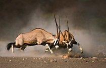 Antilopa oryx (gemsbok) žije v rodinných skupinách, které vede silný samec, následovaný dominantní samicí. Ve stádě panuje přísná hierarchie.