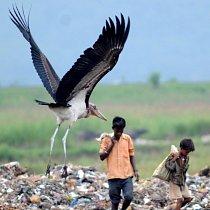 Ve městě Guwahati žije největší populace ptáků marabu na světě.