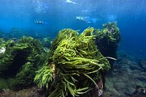 Mořská řasa (Caulerpa racemosa), St. Peter a St. Paul's rocks, Brazílie.