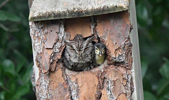 Tento snímek, na kterém kachňátko sdílí hnízdo s výrečkem, pořídila na svém dvorku v Jupiteru na Floridě amatérská fotografka Laurie Wolfová.
