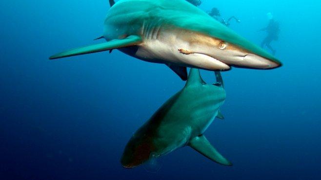 Nově objevený žralok je hybrid. Důkaz evoluce v přímém přenosu
