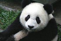 Panda velká je symbolem ohrožených zvířat a zároveň jednou z viditelných obětí. Méně charizmatická zvířata veřejnost ani nezná.