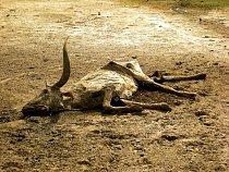Mrtvý skot (zebu). Zebu jsou zvířata polopouštních a stepních oblastí, tukové zásoby jsou důležité pro jejich přežití v období sucha