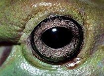 7. Čí jsou to oči? a) rosnice siná b) ropucha obecná c) listovnice červenooká