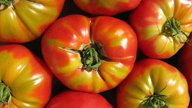 Krásně červená rajčata jsou bez chuti. Vědecky potvrzeno