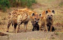 Hyeny skvrnité jsou nejhojnějším druhem.