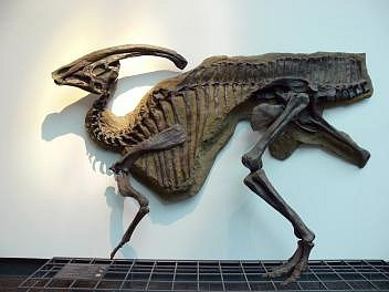 Odlitek kostry kachnozobého hadrosaura druhu Parasaurolophus walkeri sextravagantním kostěným hřebenem je vystaven vSenckenbergově muzeu ve Frankfurtu.