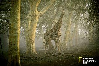 Žirafa tváří v tvář