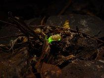 Larva světlušky
