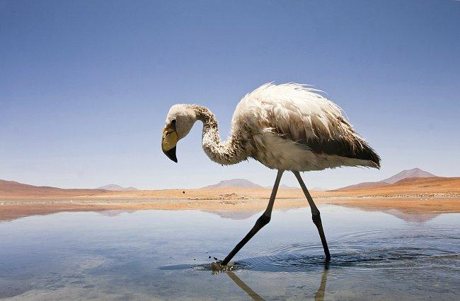 Nejčastěji obývají mělké laguny s vysokým obsahem solí.