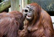 Orangutani žijí víceU orangutanů vzniká úzký vztah jen mezi samicemi a jejich potomky, dospělí samci jsou samotáři.