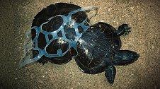 Deformace želvy, jejíž krunýř uvízl v jednom z otvorů obalu na šest piv.