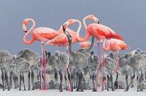 Působivý záběr plameňáků růžových krmících své mladé v hnízdišti mexické přírodní rezervace Río Lagartos zajistil Alejandru Prietovi Rojasovi titul fotograf ptáků roku a první místo za nejlepší portrét.