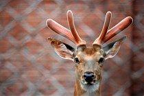 Řezání paroží živým jelenům