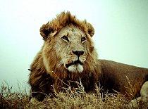 I králové zvířat nežijí svůj život věčně. I oni na konci života svůj největší boj prohrávají. V přírodě se dožívají kolem 15 let, v zajetí až dvakrát déle.