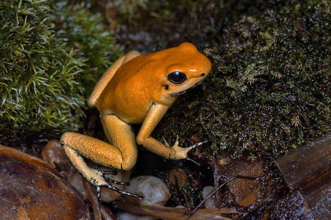 Pralesnička strašná (Phyllobates terribilis Orange) obývá území Kolumbie.