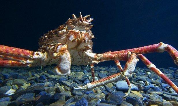 VIDEO: Děsiví mořští tvorové z Japonska. Chodící ryba nebo největší krab na světě