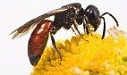 Sací ústrojí včely medonosné je fascinující