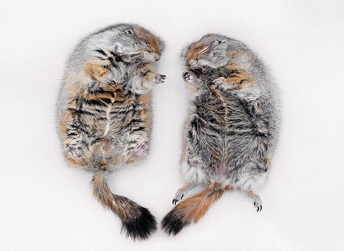 Párek hibernovaných arktických syslů pomáhá při výzkumech na University of Alaska řešit lékařskou záhadu. Sysel Parryův umí snížit tělesnou teplotu pod bod mrazu a bez újmy přečkat i sedmiměsíční zimní spánek.