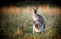Klokani žijí v Austrálii a Tasmánii, Nové Guineji a na přilehlých ostrovech.