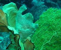Ryba čeledi Antennariidae má holou kůži bez šupin (často porostlou různými výrůstky). Její tělo se podobá spíš nějaké žábě. Její pestrobarevná kůže jí pomáhá skrýt se na nejrůznějších místech korálový