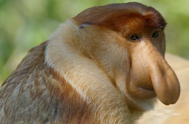 Kahau nosatý