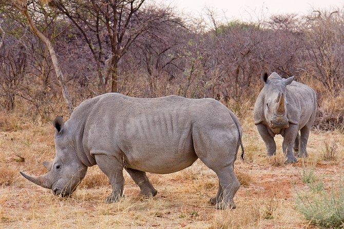 Nosorožci mají velmi citlivý čich a sluch, ale špatně vidí.