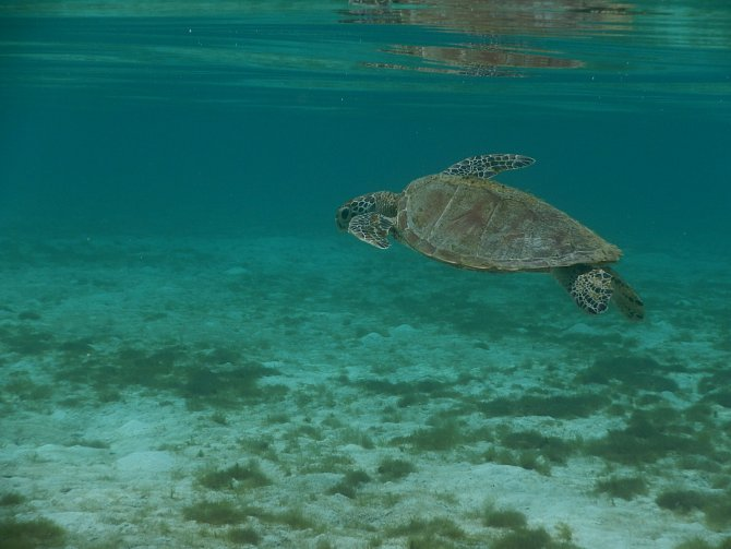 Dospělé mořské želvy opakovaně cestují mezi rozmnožovacím (na potravu vzácným) a potravním habitatem.