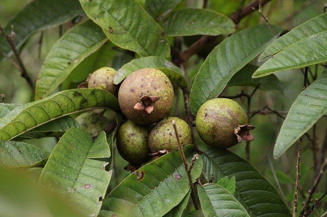 Malé kulaté plody mancinelly - nevinné ochutnání způsobí silné zvracení a průjmy.