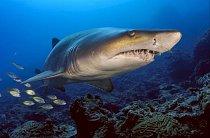 Boninské ostrovy, Japonsko: Žralok písečný