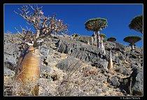 Stěny kaňonu osídlují růžově kvetoucí sukulentní adenia, výše pak dračince