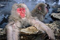 Japonští makakové červenolící