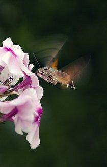 Kategorie Příroda v akci: 6.-10. místo – Karolína Vučka – Motýlí kolibřík