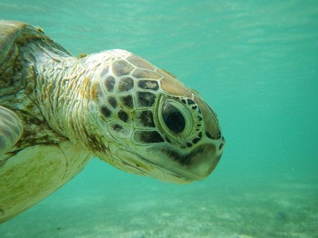 Důležité je uklidit z pláže naplavené dřevo a odpadky, které překáží dospělým samicím při hrabání hnízd.