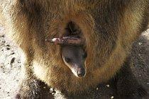 Matčin vak je domovem mláďat minimálně jeden rok.