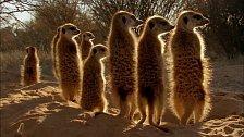 Surikaty na poušti Kalahari