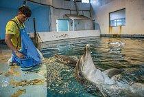 Taesan (vpopředí) aBoksoon vzoologické zahradě vSoulu se učí znovu požírat živé ryby. Letos vlétě mají být vypuštěni domoře uostrova Jeju. Pokud všechno půjde dobře, připojí se ksamici Chunsam akesvému rodnému stádu.