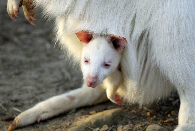 Klokaní mládě se vyvíjí ve vaku přisáté k mléčné bradavce matky. Musí se tam po porodu prodrat matčinou srstí samo.