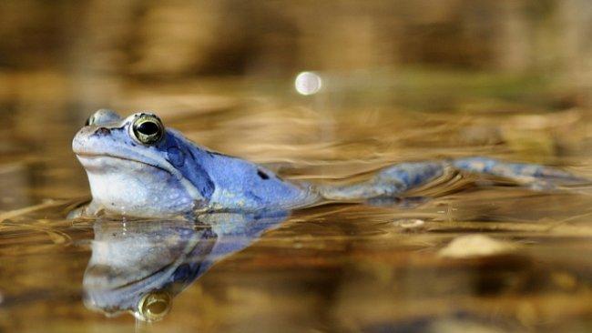 Modrá barva šetří žábám čas a pomáhá předejít trapným přehmatům