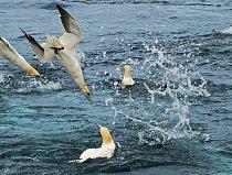 Díky binokulárnímu vidění dokážou terejové rozpoznat hejna ryb v mořských hlubinách. Když ptáci prorazí v rychlosti až 110 kilometrů za hodinu mořskou hladinu, chrání jim hlavu a hruď vzdušné vaky.