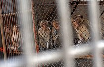 O pokusné opice má zájem nejen farmaceutický, ale i kosmetický průmysl.