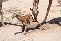 Po narození váží mládě přibližně 70 kg a měří okolo 2 metrů.
