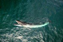 Plejtvák se krmí u hladiny v Cashes Ledge, bohaté oblasti s velkou biodiverzitou v Mainském zálivu. Tento živočišný druh se dosud loví: v roce 2016 zabili japonští velrybáři 333 plejtváků malých, mezi nimiž bylo více než 200 březích samic.