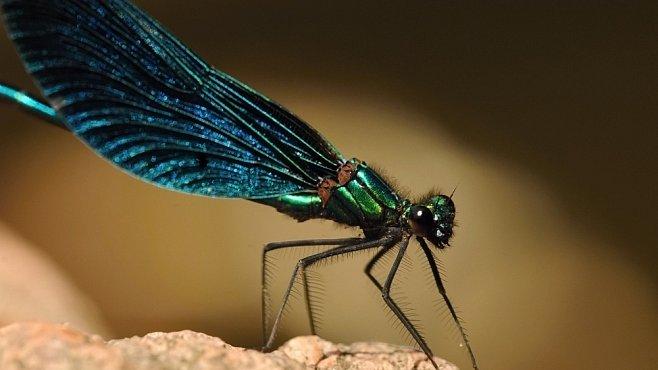 Vážky a jejich tajemství. Ďáblovy létající jehly léčily bolesti, strašily děti, ale nosily i štěstí