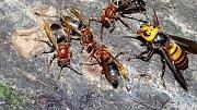 Nerovný boj: 30 sršní proti 10 000 včel. Hádejte, kdo zvítězí