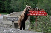 Grizzly na Aljašce se stará o bezpečnost přijíždějících řidičů.