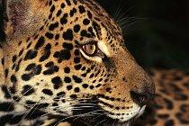Jaguára amerického je velmi těžké spatřit. V dnešní době se vyskytuje od Mexika přes velkou část Střední Ameriky jižně do Paraguaye a severní Argentiny. Několik jedinců žije nedaleko Tucsonu v americk