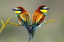 Vlha pestrá. Páry pestře zbarvených ptáků jsou monogamní a často spolu setrvávají po několik let