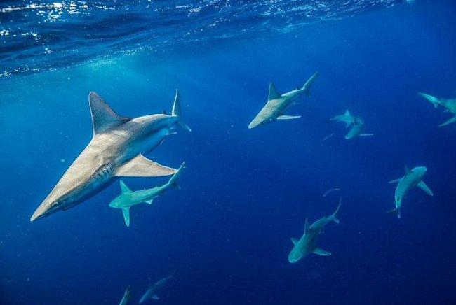 Havaj: Žralok hnědý